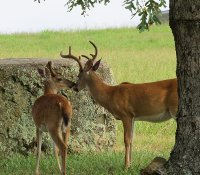 Two young deer exploring the grounds.